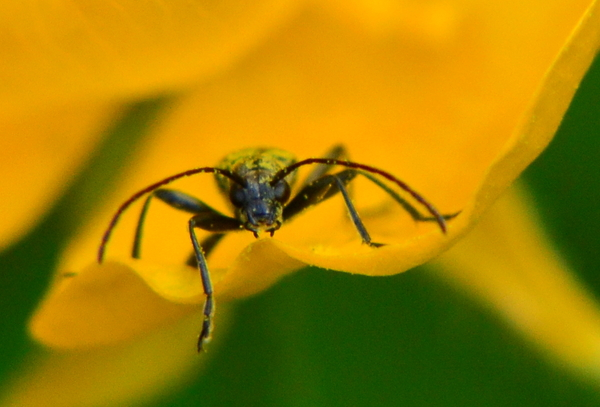 Beetle: Insect on a buttercup petal
