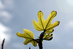 Fig tree leaves: Fig tree leaves