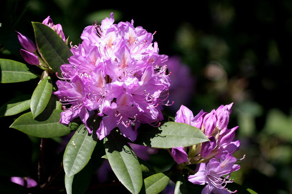 Purple Rhodedendron Flower: Purple Rhodedendron Flower