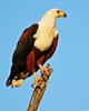 African Fish Eagle 2: Fish Eagle pictures, in flight, resting, and aggression towards Peacock