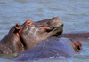 Hippopotamus (Hippo) family 2: Hippo Family pics, responsible for more human deaths than any other animal in the African wild, however not counted under the
