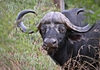 African Buffalo / Cape Buffalo: The African buffalo or Cape buffalo, is a large African bovine, one of the big 5, considered very dangerous to Hunters. It is not closely related to the slightly larger wild Asian water buffalo, and its ancestry remains unclear. (Wikipedia)