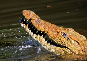 Nile Crocodile: close-up pictures of a Nile Croc