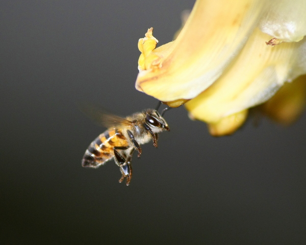 Bees and flower: honey bees working on a banana flower