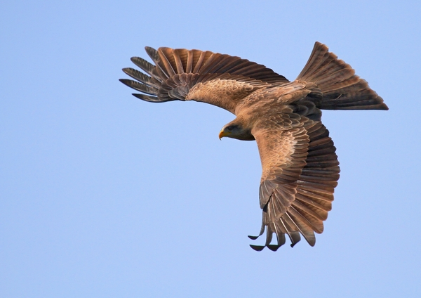 Yellow Billed Kite: Various Yellow Billed Kite (Falcon) dive pictures
