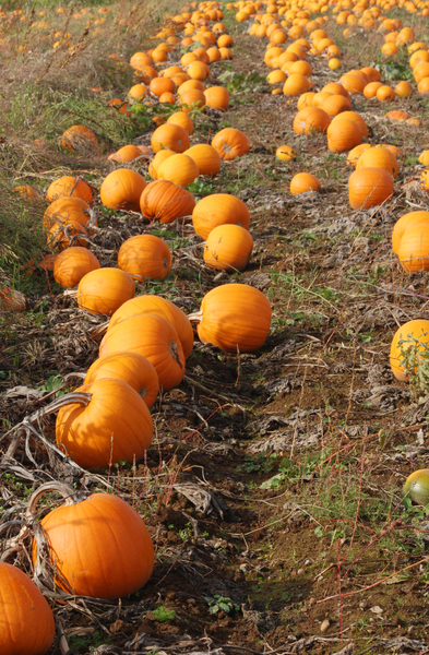 Pumpkin Patch: Pumpkins in the fall ready for harvest.