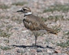 Killdeer: This fellow and a few friends were enjoying the sun on a nearby golf course.