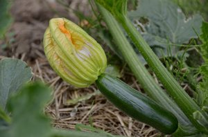 courgette flower: A developing courgette