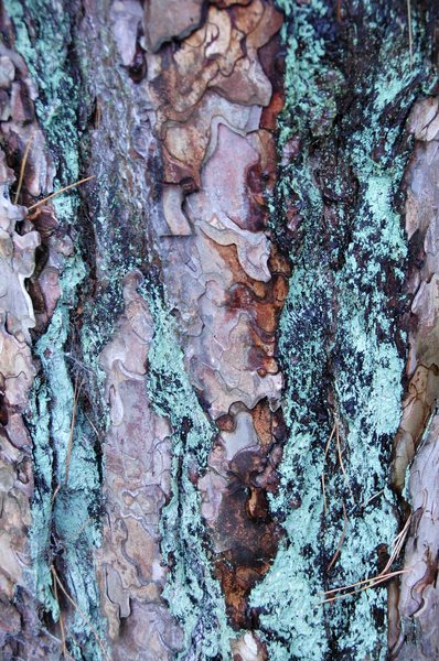Tree bark detail: Detail from the trunk of an old Scots pine tree.