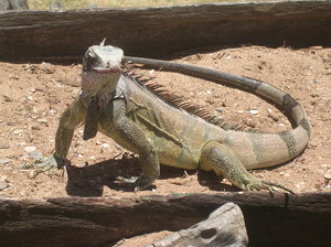 iguana 2: photo taken in Venezuela