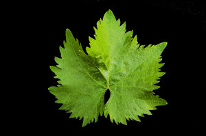 Grape Vine Leaf: Macro shot of grape vine leaf