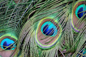 Peacock Feathers: Close up shots of peacock feathers