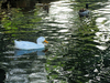 Duck: A white duck glides across the rippled surface of the water.