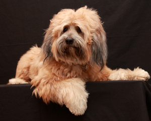 Tibetan Terrier Dog 2: My Tibetan Terrier on his 4th birthday!
