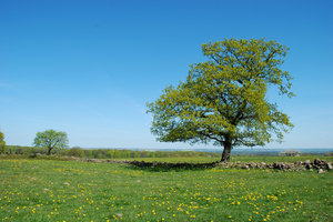 Solitary Tree: Solitary tree in open lanscape, typical for the southern part of Sweden.
