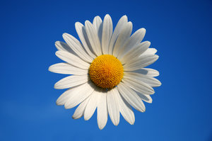 Daisy 1: Oxeye Daisy.Also see:http://www.sxc.hu/photo/8 ..andhttp://www.sxc.hu/photo/8 ..