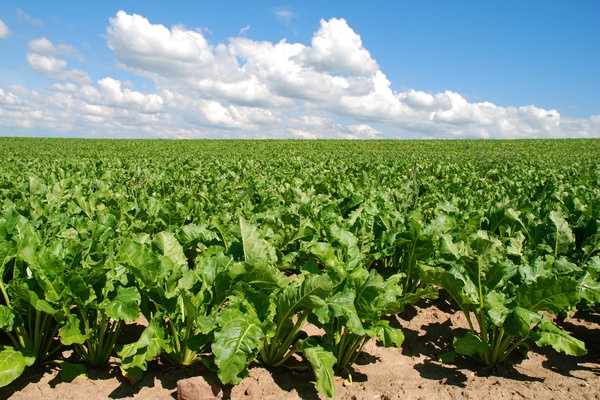 Image result for beet field