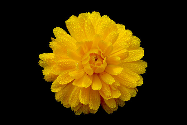 Yellow Flower: Yellow Flower, black background.