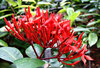scarlet cluster: bright tight clusters of scarlet ixora flowers