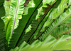 green fanning fronds: large tropical garden fern