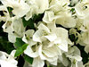 white bougainvillea: clusters of white bougainvillea bracts