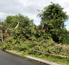 storm damage3: damage caused by large tree blown over during storm