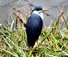 pied heron1: Australian pied heron waiting on reed bed