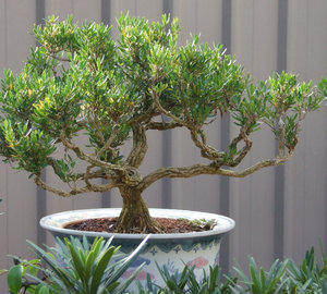 bonsai beauty: bonsai miniature trees