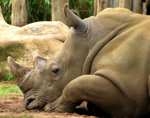 rhino rest: headshot of resting white rhinoceros