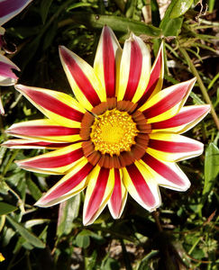 gazania colour9: the painted-like colourful appearance of gazanias