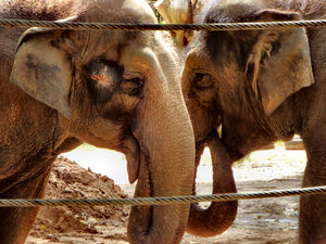 trunk to trunk4: female Indian elephants in close contact