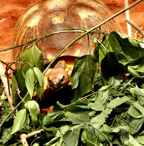 tortoise dinner time1: radiated-tortoise having green leaves meal