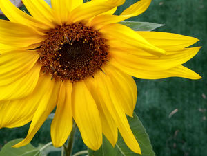 sunflower gold2: dwarf sunflower in bright sunlight