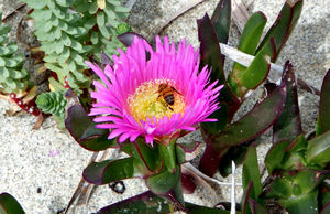 flowering common pigface5: coastal sand dunes plants