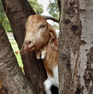 boys & goats climb trees3: natural tree climbers - boys & goats