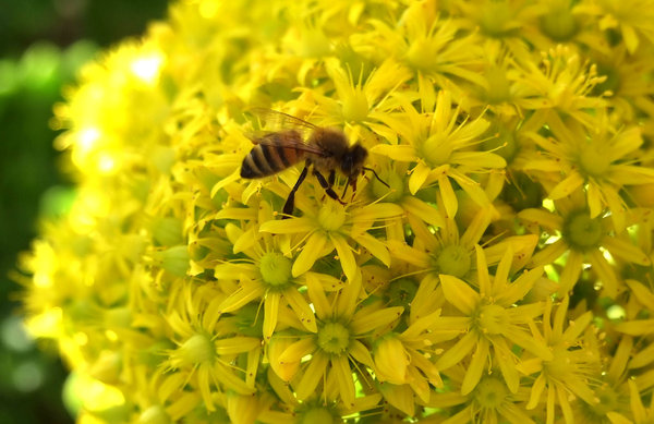 searching for gold: bees on flowers seeking pollen - nectar