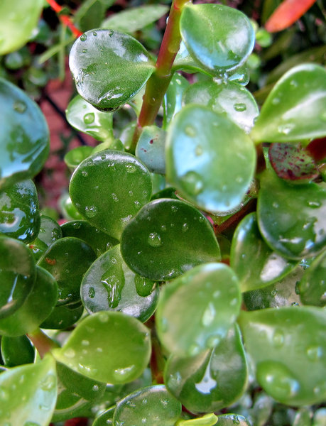 dripping jade: jade plant after rain with drops on its round fleshy leaves