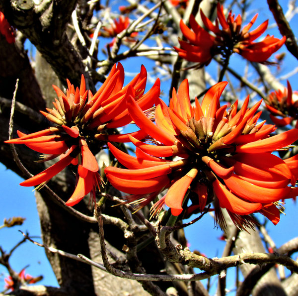 fiery fingers: bright red finger-like flowers of the Australian coral tree