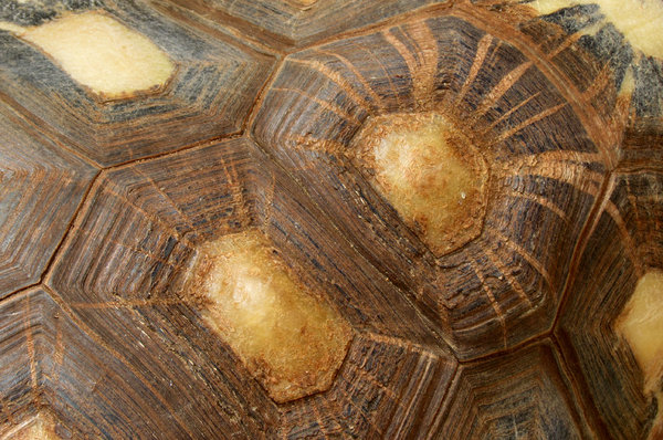 tortoise shell contours2: abstract appearance of large radiated tortoise carapace - shell