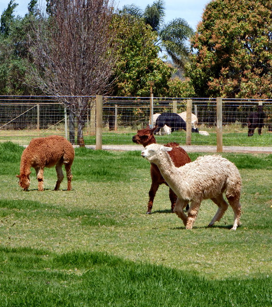 grazing alpacas7: alpaca farming in Australia