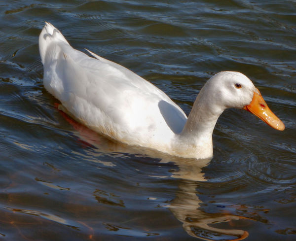 light on dark waters1: domestic duck gone wild - in public park pond
