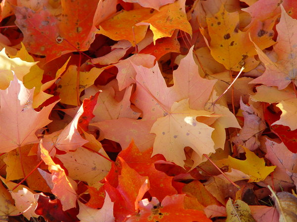 Background of Autumn Leaves: Autumn leaves of brilliant orange and yellow