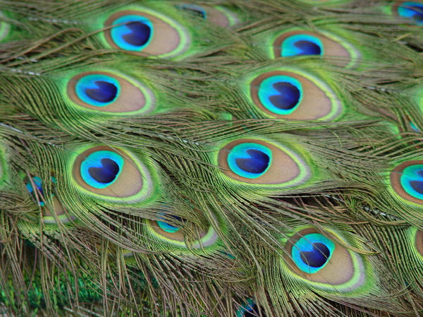peacock 1: peacock feathers