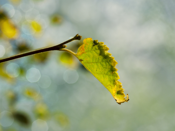 Leaf: Colorful autumn background with bokeh lights