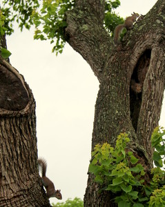 Squirrels Up a Texas Tree: Family of squirrels jumping, chasing playing in old Texas tree.