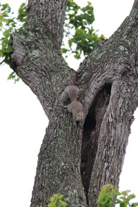 Squirrels Up a Texas Tree: Family of squirrels playing in old tree.