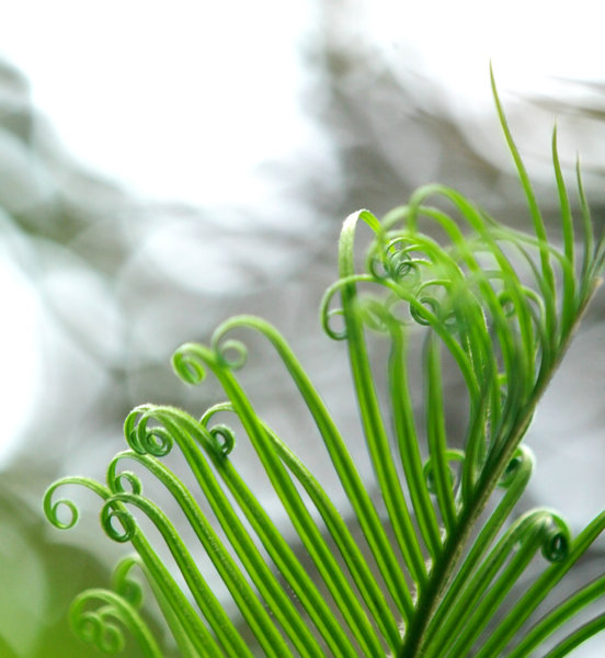 Cycas leaves: no description