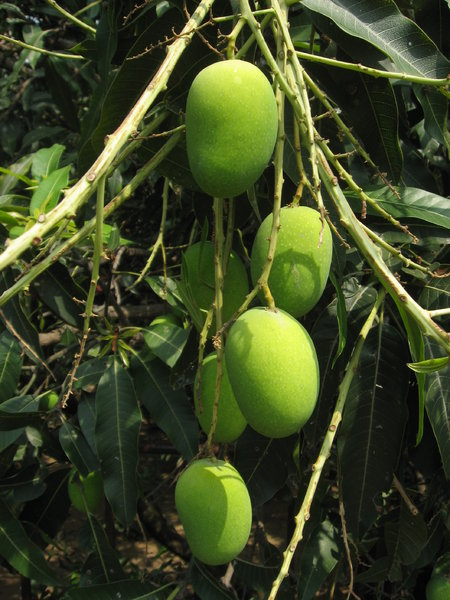 Free stock photos - Rgbstock - Free stock images | Mangoes