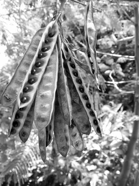 Seed pods: Seed pods hanging from a tree in Auckland, NZ. January 21, 2007.