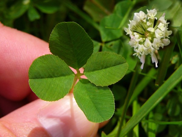 Feelin' Lucky?: Luck is about as real as this photo! :)  The leaf on the right, and the flower were added.  The leaf is a reshaped copy of the left one.Thanks Lemon_drop for the idea :)